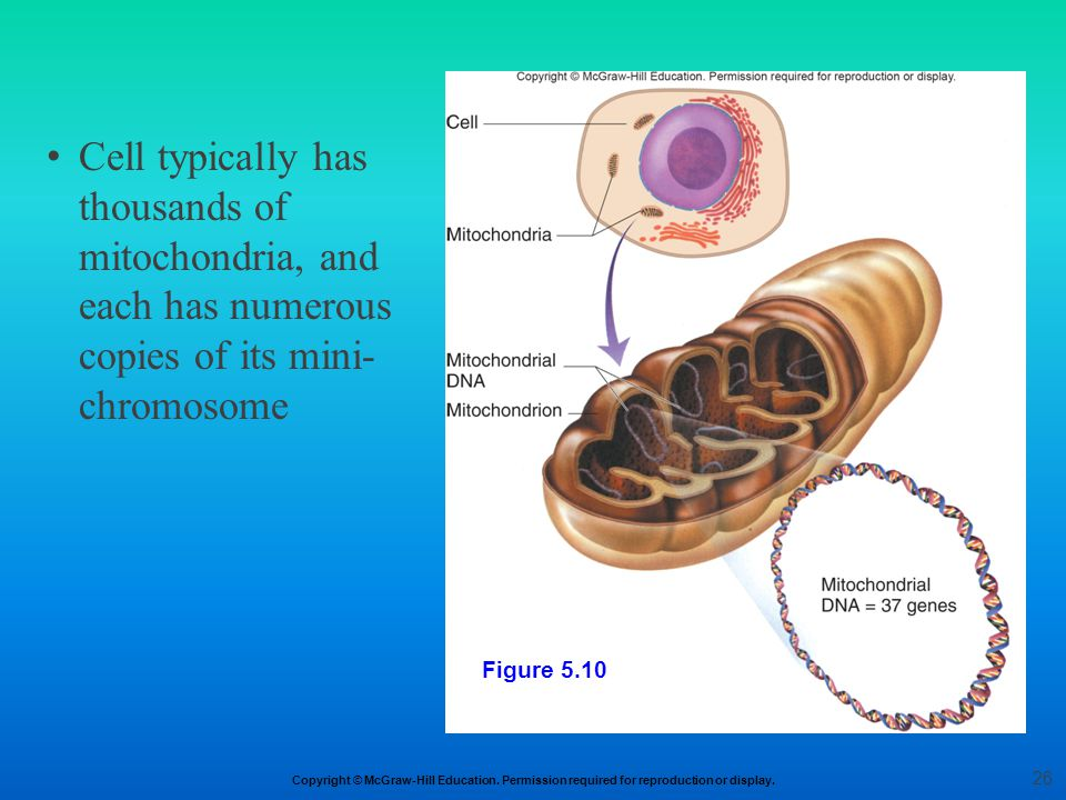 Cell typically has thousands of mitochondria, and each has numerous copies of its mini-chromosome
