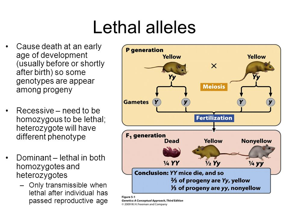 Lethal alleles Cause death at an early age of development (usually before or shortly after birth) so some genotypes are appear among progeny.