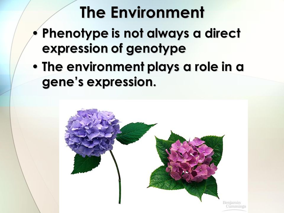 The Environment Phenotype is not always a direct expression of genotype.