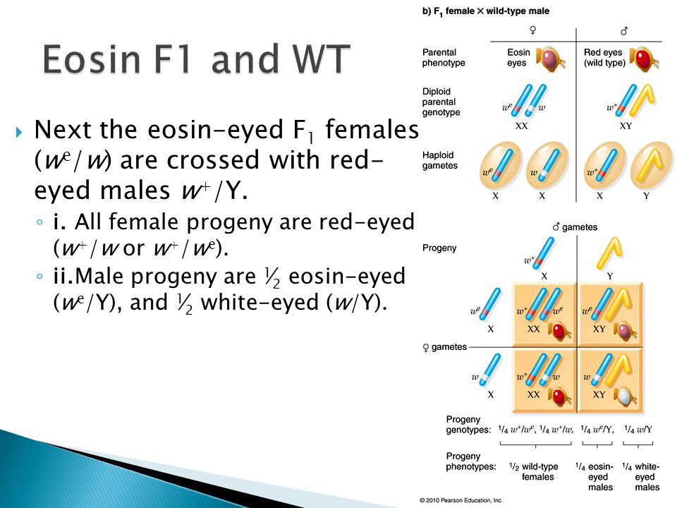 Eosin F1 and WT Next the eosin-eyed F1 females (we/w) are crossed with red- eyed males w+/Y. i. All female progeny are red-eyed (w+/w or w+/we).