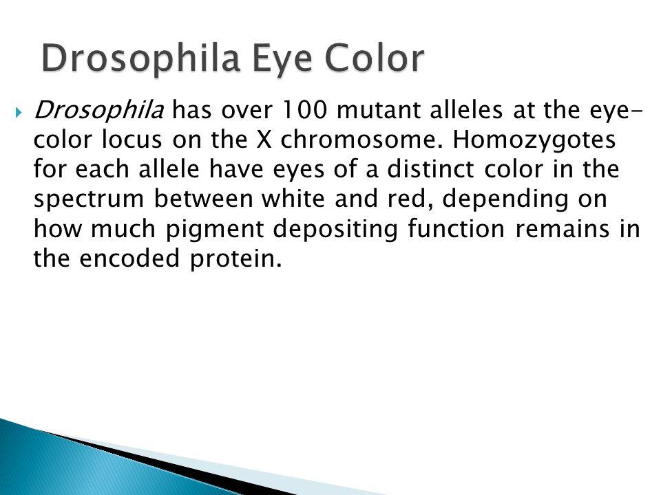 Drosophila Eye Color