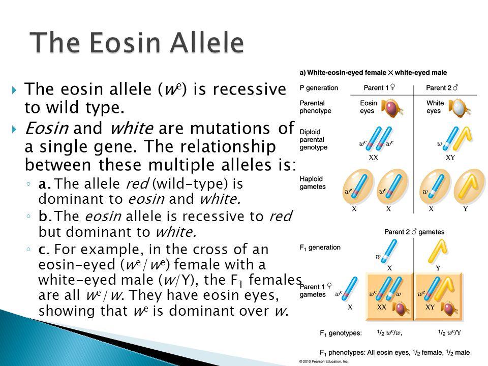 The Eosin Allele The eosin allele (we) is recessive to wild type.