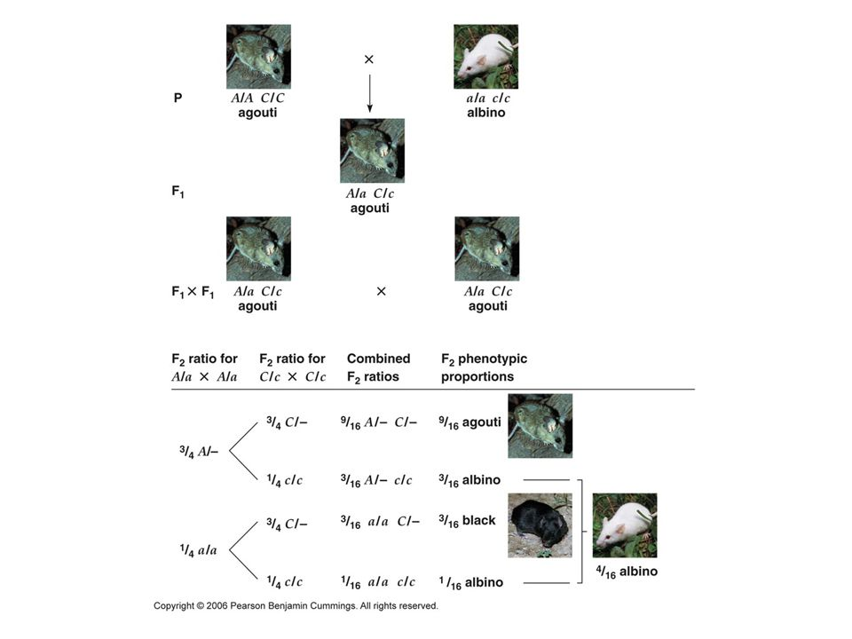 Figure 4.11 Recessive epistasis: generation of an F2 9 agouti : 3 black : 4 white ratio for coat color in rodents.