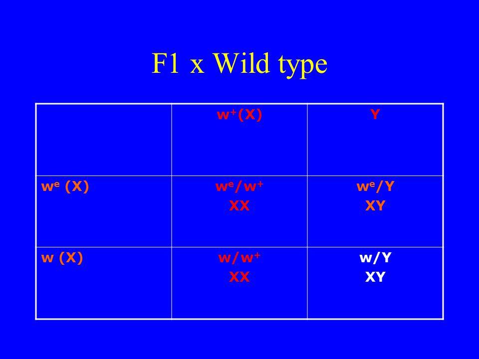 F1 x Wild type w+(X) Y we (X) we/w+ XX we/Y XY w (X) w/w+ w/Y