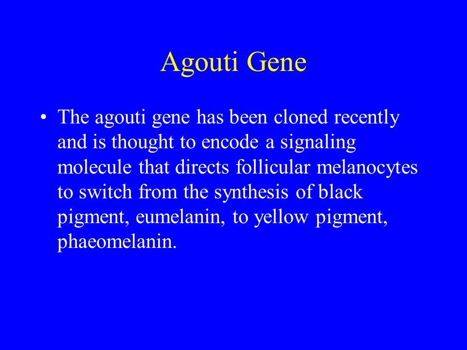 Agouti Gene