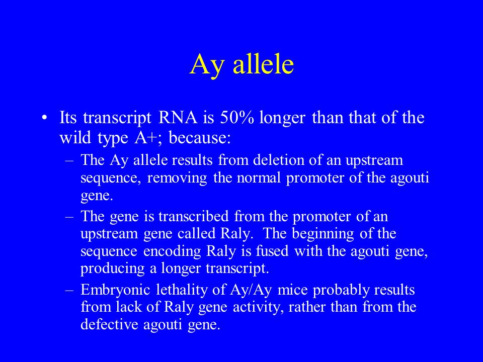 Ay allele Its transcript RNA is 50% longer than that of the wild type A+; because: