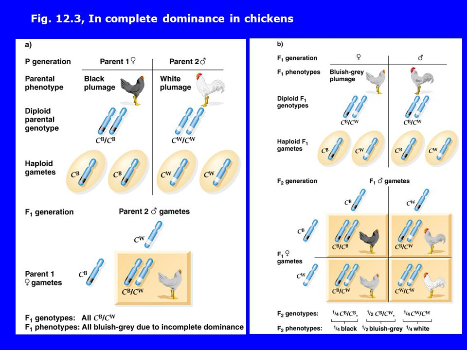 Fig. 12.3, In complete dominance in chickens