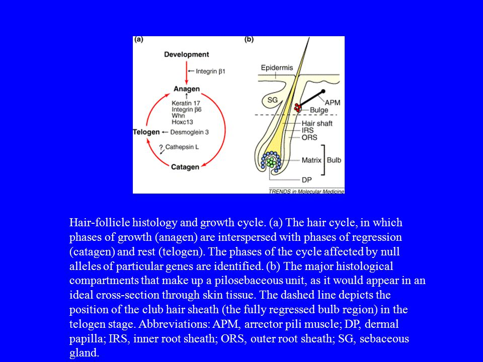 Hair-follicle histology and growth cycle