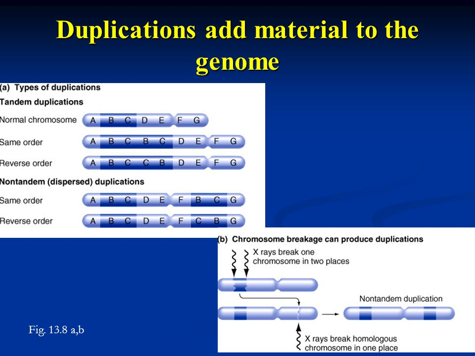 Duplications add material to the genome