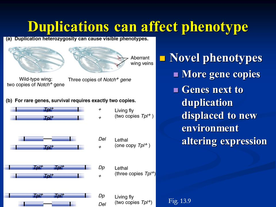 Duplications can affect phenotype