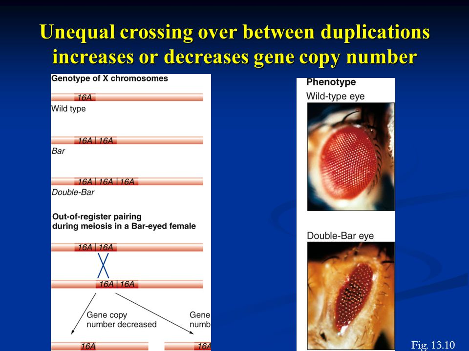 Unequal crossing over between duplications increases or decreases gene copy number