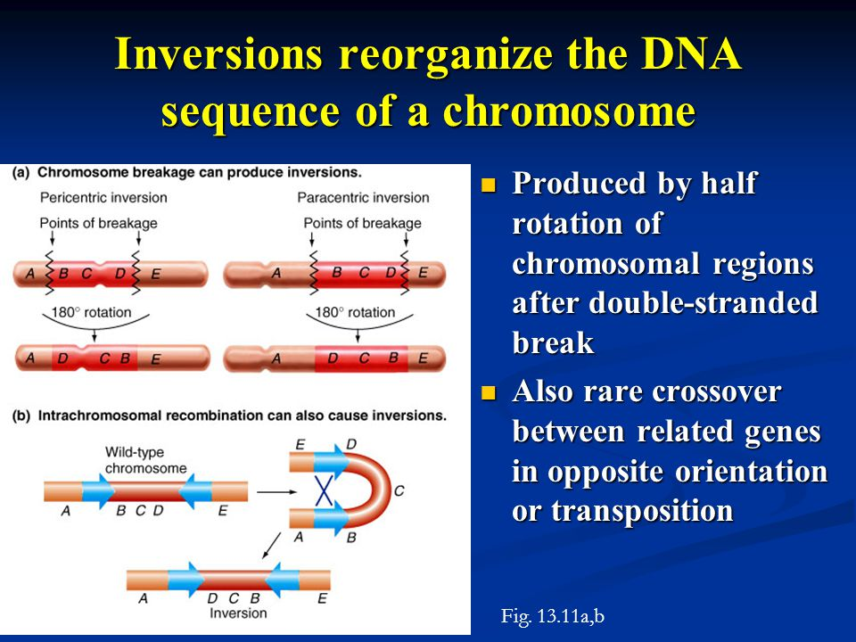Inversions reorganize the DNA sequence of a chromosome