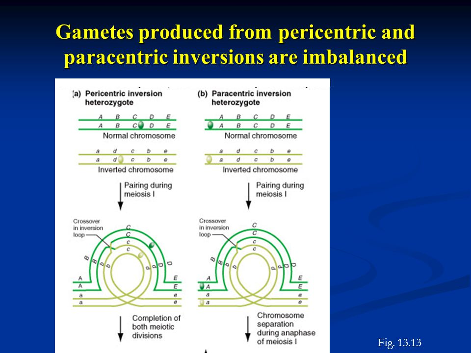 Gametes produced from pericentric and paracentric inversions are imbalanced