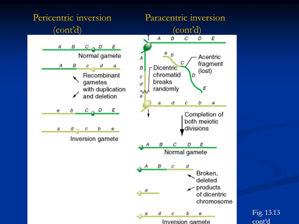 Pericentric inversion Paracentric inversion (cont'd) (cont'd)
