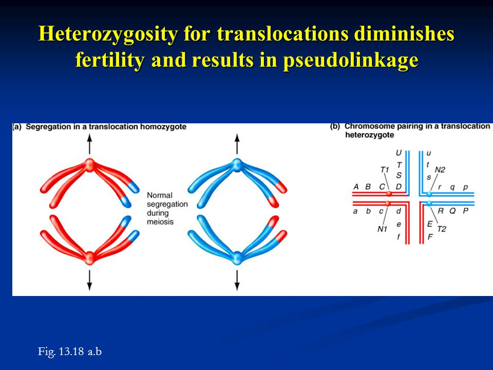 Heterozygosity for translocations diminishes fertility and results in pseudolinkage