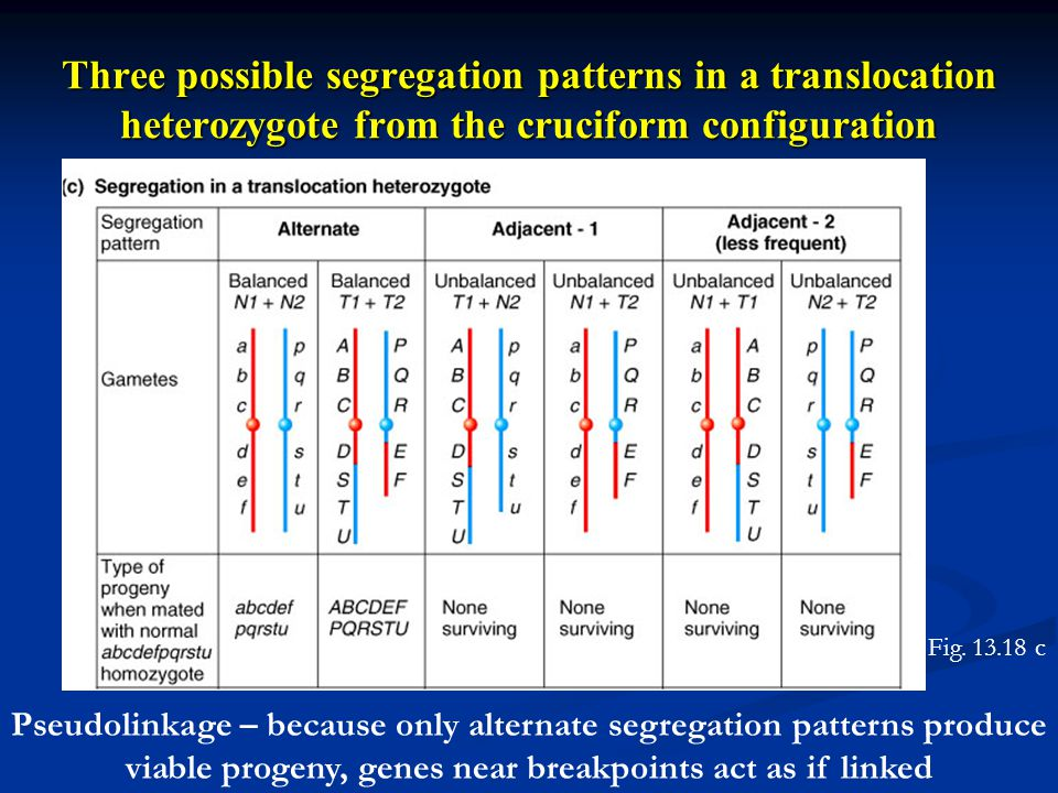 Three possible segregation patterns in a translocation heterozygote from the cruciform configuration