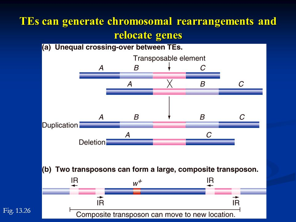 TEs can generate chromosomal rearrangements and relocate genes