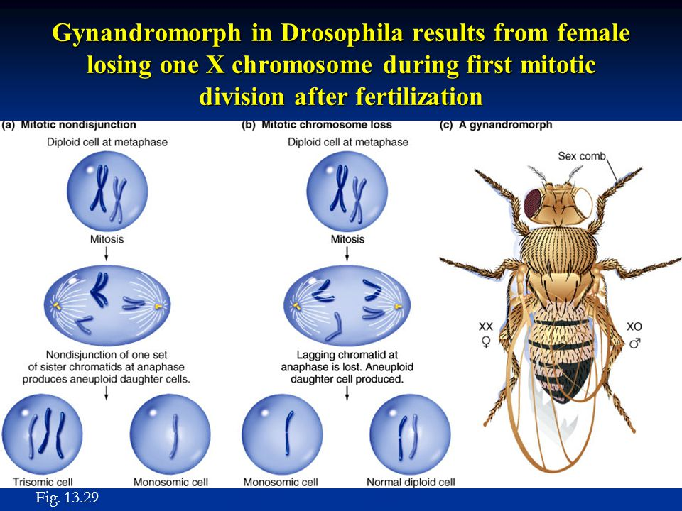 Gynandromorph in Drosophila results from female losing one X chromosome during first mitotic division after fertilization