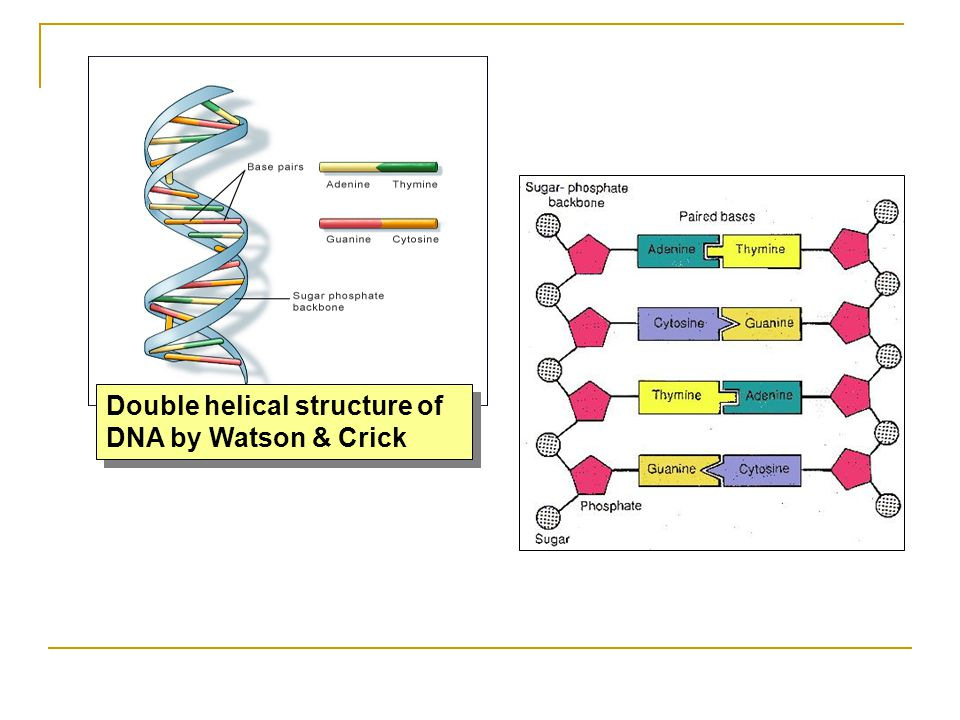 Double helical structure of DNA by Watson & Crick