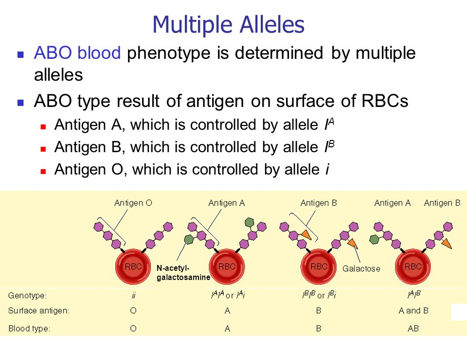 Multiple Alleles ABO blood phenotype is determined by multiple alleles