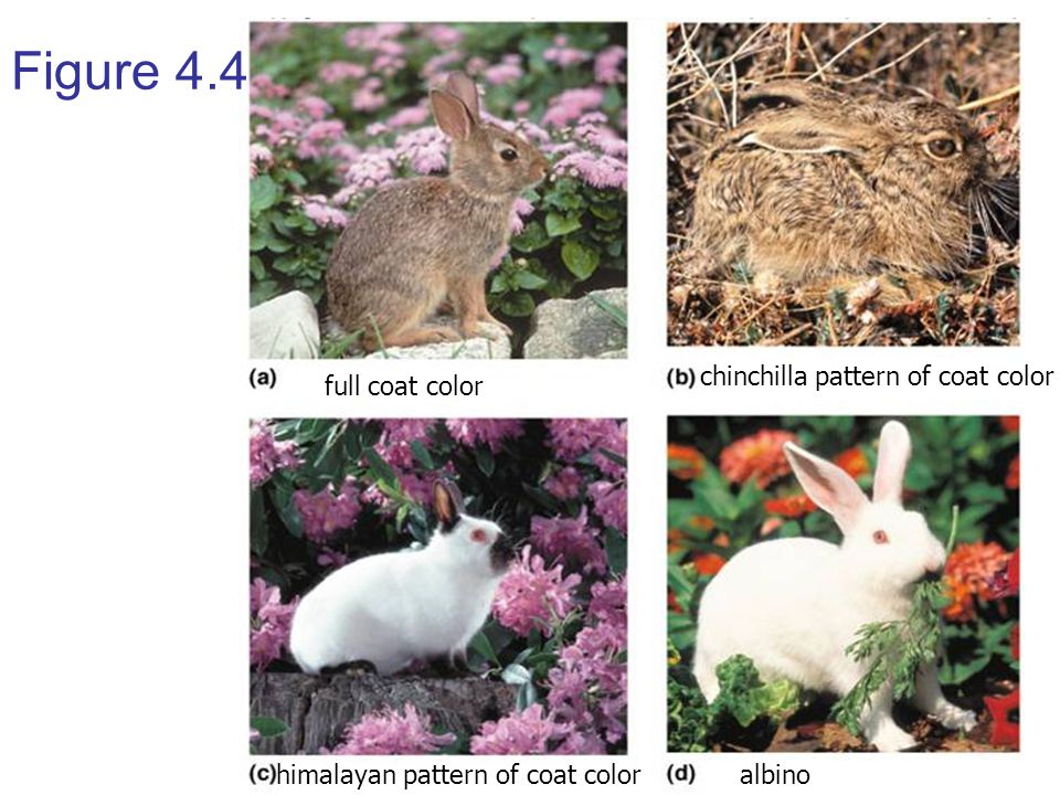 Figure 4.4 chinchilla pattern of coat color full coat color