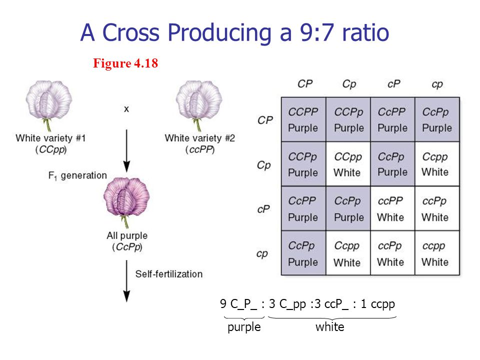 A Cross Producing a 9:7 ratio