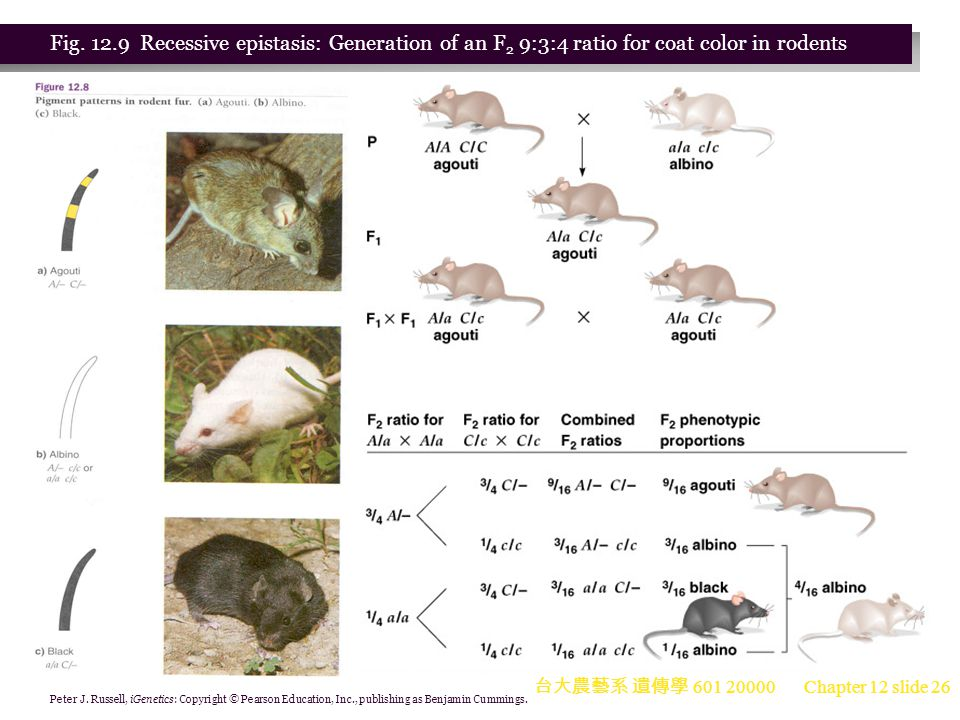 Fig. 12.9 Recessive epistasis: Generation of an F2 9:3:4 ratio for coat color in rodents