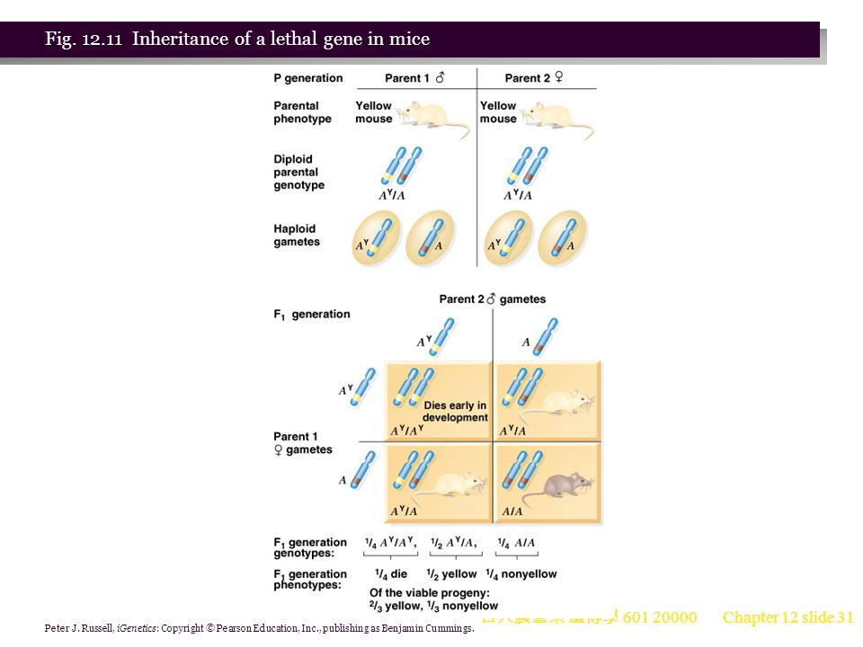 Fig. 12.11 Inheritance of a lethal gene in mice