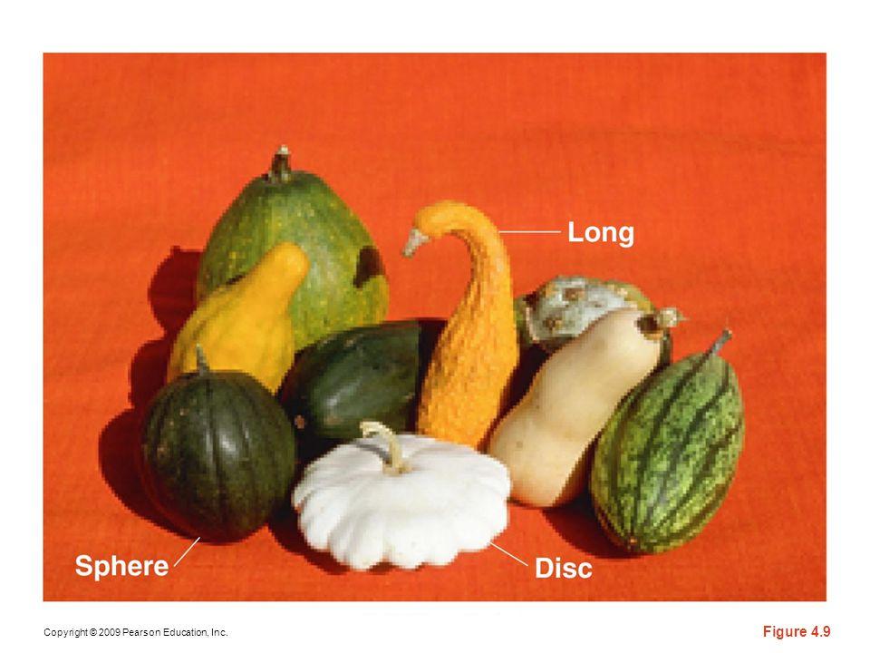 Figure 4-9 Summer squash exhibiting various fruit-shape phenotypes, where disc (white), long (orange gooseneck), and sphere (bottom left) are apparent.