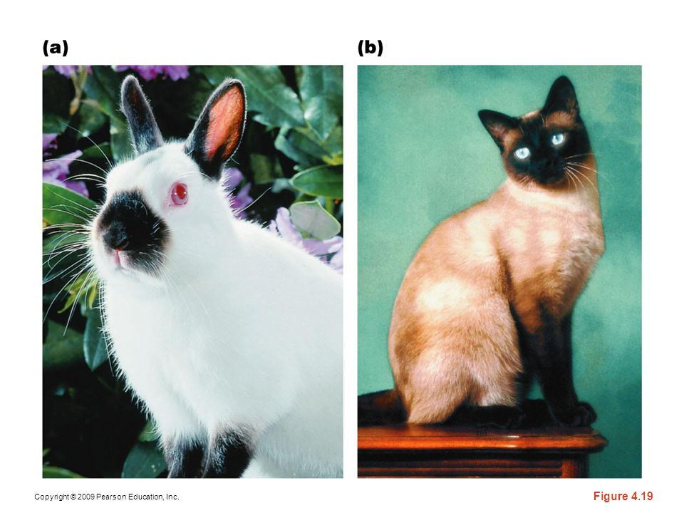 Figure 4-19 (a) A Himalayan rabbit. (b) A Siamese cat