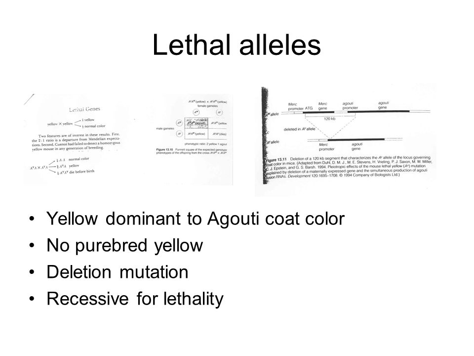 Lethal alleles Yellow dominant to Agouti coat color No purebred yellow