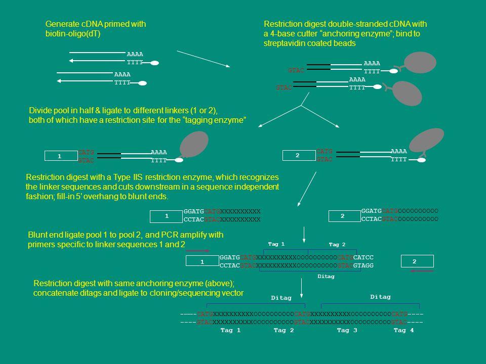 Generate cDNA primed with biotin-oligo(dT)