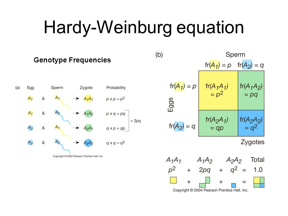 Hardy-Weinburg equation