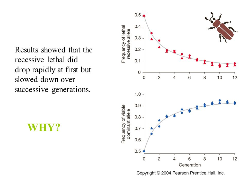 Results showed that the recessive lethal did drop rapidly at first but slowed down over successive generations.