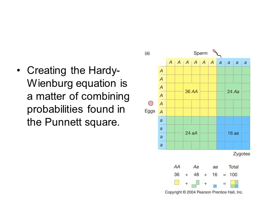 Creating the Hardy-Wienburg equation is a matter of combining probabilities found in the Punnett square.