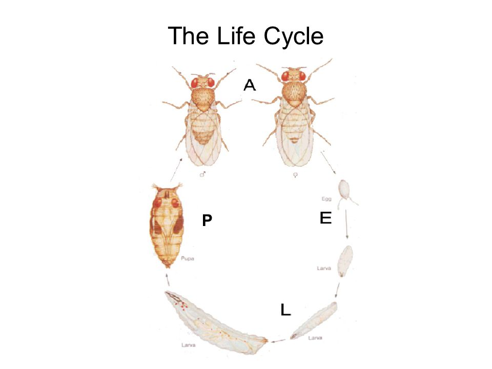 The Life Cycle P Drosophila Lifecycle.