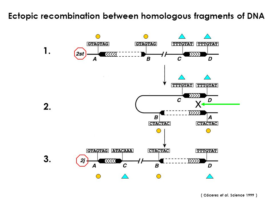 1. 2. 3. Ectopic recombination between homologous fragments of DNA