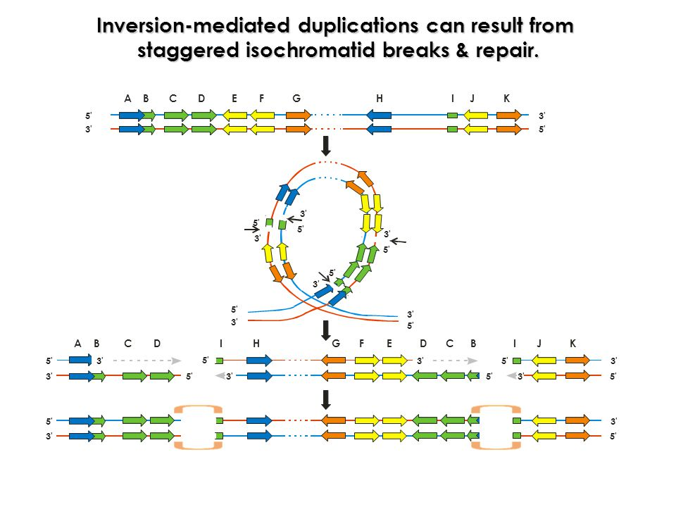 Inversion-mediated duplications can result from