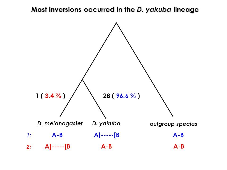 Most inversions occurred in the D. yakuba lineage