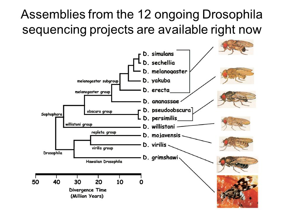 Assemblies from the 12 ongoing Drosophila sequencing projects are available right now