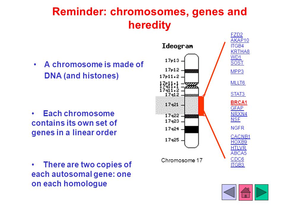 Reminder: chromosomes, genes and heredity