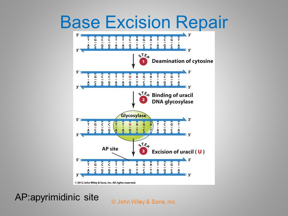 Base Excision Repair AP:apyrimidinic site © John Wiley & Sons, Inc.