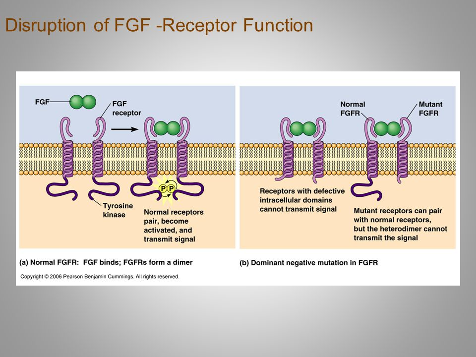 Disruption of FGF -Receptor Function