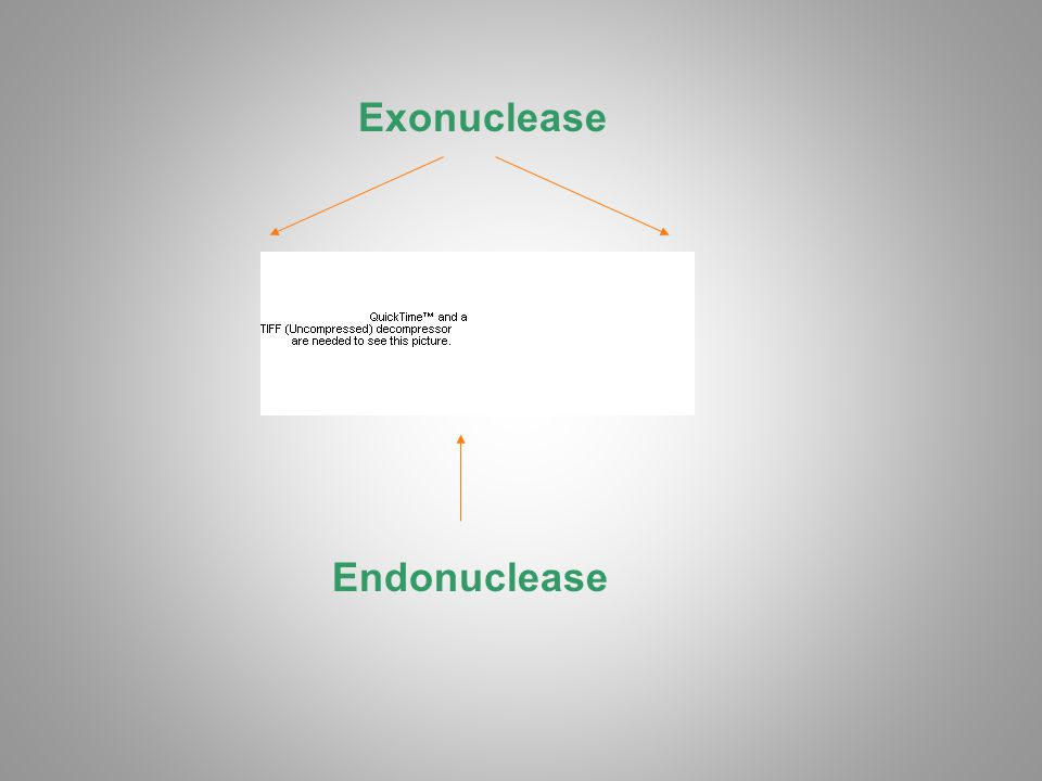 Exonuclease Endonuclease