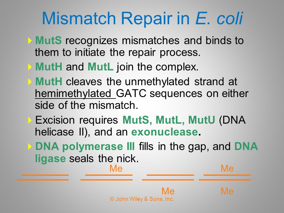 Mismatch Repair in E. coli