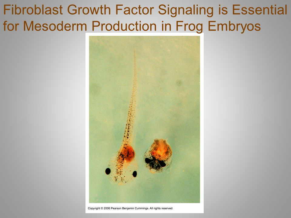 Fibroblast Growth Factor Signaling is Essential for Mesoderm Production in Frog Embryos