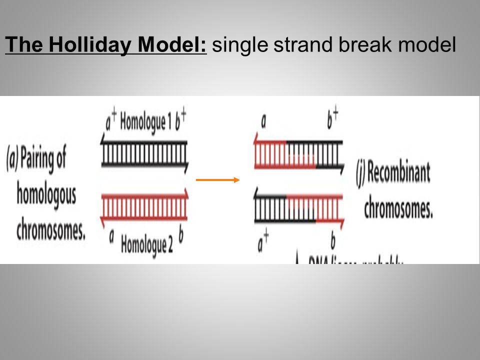 The Holliday Model: single strand break model