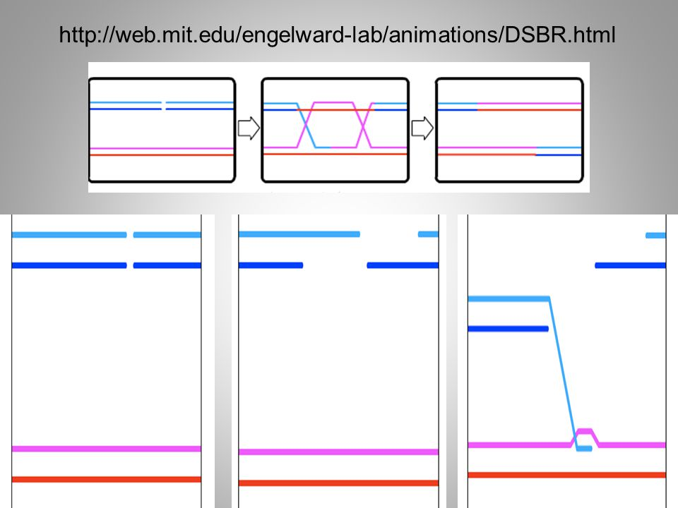 http://web.mit.edu/engelward-lab/animations/DSBR.html