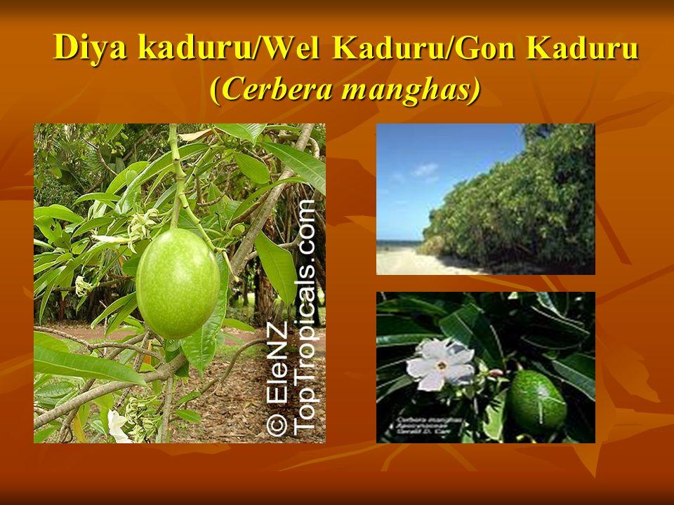 Diya kaduru/Wel Kaduru/Gon Kaduru (Cerbera manghas)