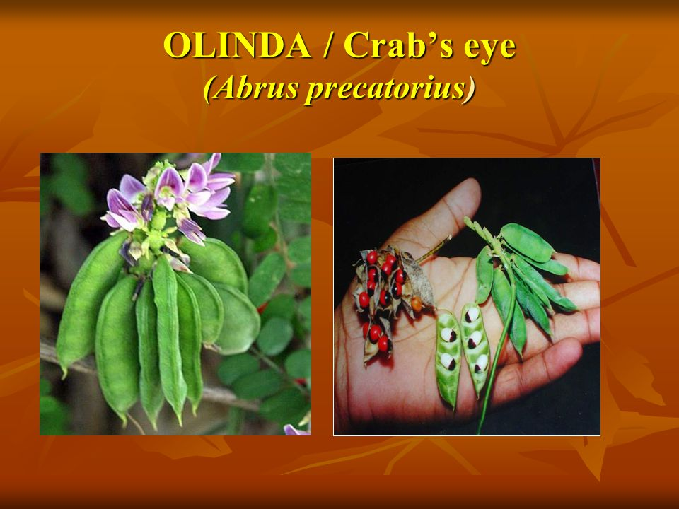 OLINDA / Crab's eye (Abrus precatorius)